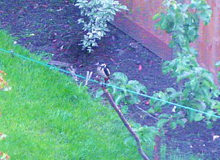 June 2008 013woodpecker